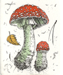 etching of the mushroom, amanita muscaria